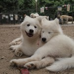 Can I get a samoyed from breeder or rescue if I am a first time dog owner?