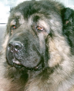 wolf killer caucasian Caucasian Ovcharka   Russian bear dog