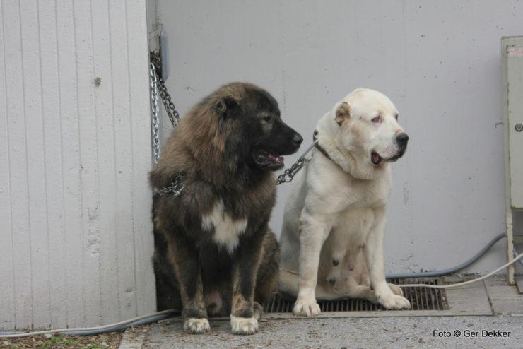 Caucasian shepherd and central asian shepherd