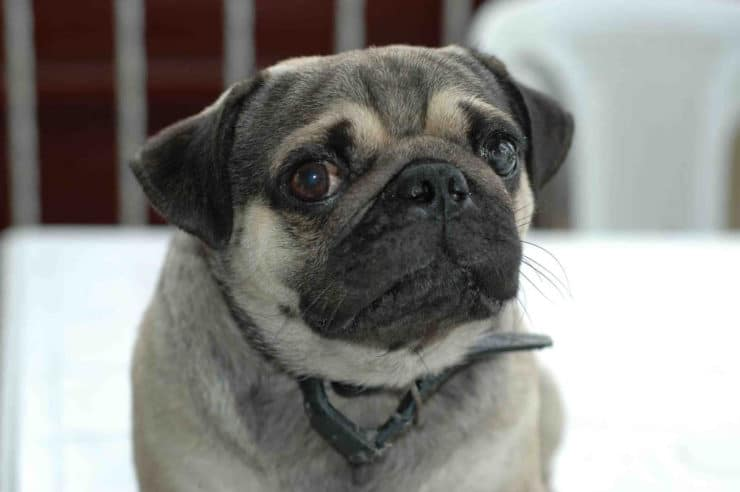 pug-dog pros and cons