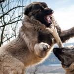 Ancient Guard Dog Breed Revival