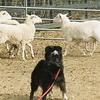 How to teach an Australian Shepherd to herd?