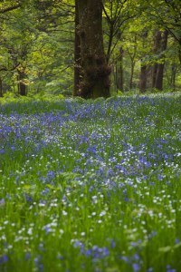 Bluebells And Wood Anemone