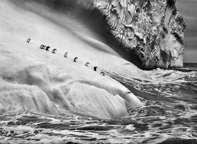 Chinstrap penguins (Pygoscelis antarctica) on icebergs located between Zavodovski and Visokoi islands. South Sandwich Islands. Credit: © Sebastião Salgado