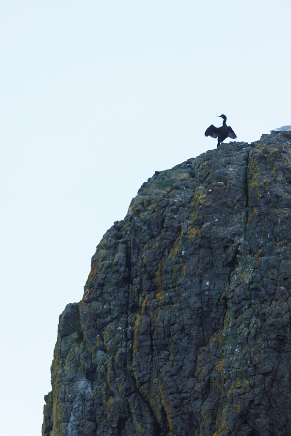 Shag Drying Its Wings