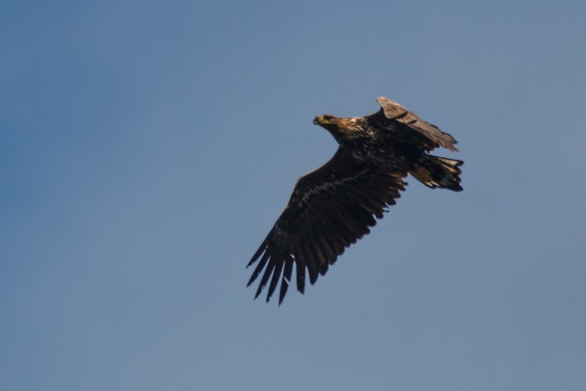 Young White Tailed Eagle #1