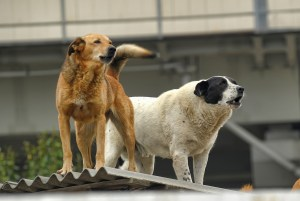 Feral Dogs