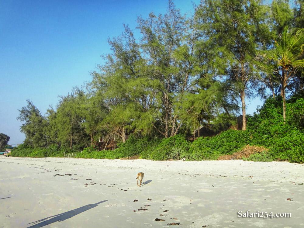 Watamu beach_dog stroll