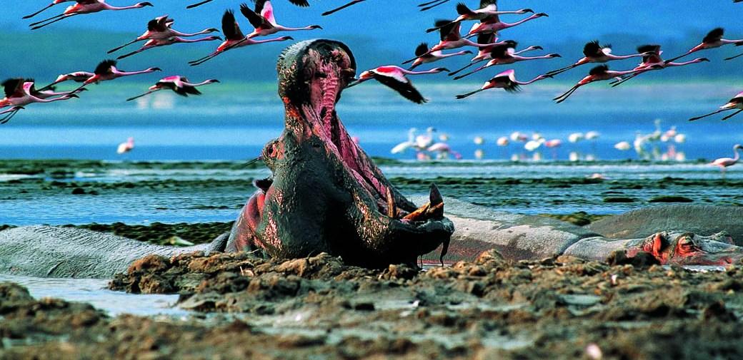 Lake Nakuru National Park_hippo and flamingoes