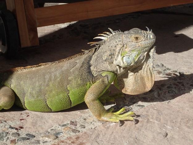 Iguanas rule at El Cid