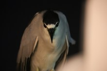 Night Heron visits Footloose