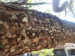 "look close, it's a ""gum"" tree"