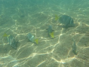 Yellowtail Surgeonfish