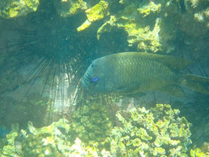 Bumphead Damselfish, beautiful blue eyes