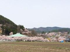 150412高遠桜02