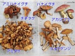 150910収穫キノコ