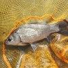 真鮒釣りしあの川|舟渡川 マブナ、ブルーギル