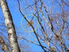 160304冷川宿り木