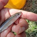 毛鉤でワカサギを釣る|2016諏訪湖のワカサギ釣り状況