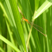 Izumibashi dragonfly in the rice field