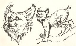 sketch of a lynx from the Natural History Museum