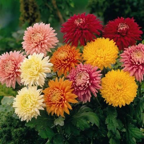 Saygısı, duruşlarında; sevgisi, tohumlarında gizli Kasımpatıları…