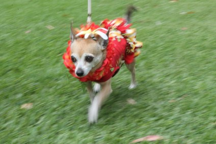 Sporting a Hawaiian dress and lei, Chloe, a 10-year-old chihuahua, showed the judges her sense of style. Photo by Andrea Papagianis