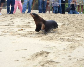 A sea lion pup named Grace found stranded and malnourished on a San Clemente beach in February makes her way back to her ocean home after being nursed back to health at the Pacific Marine Mammal Center. Photo by Wendy Saewert