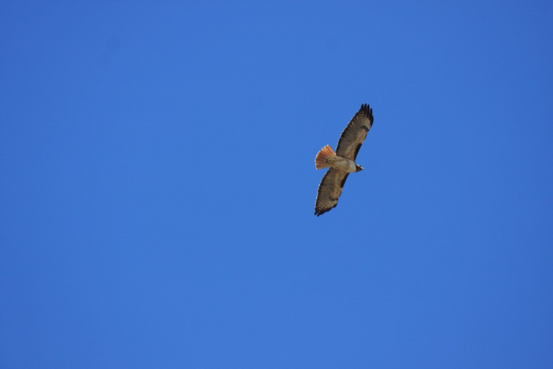 A hawk circles overhead during the event. Photo by Andrea Swayne