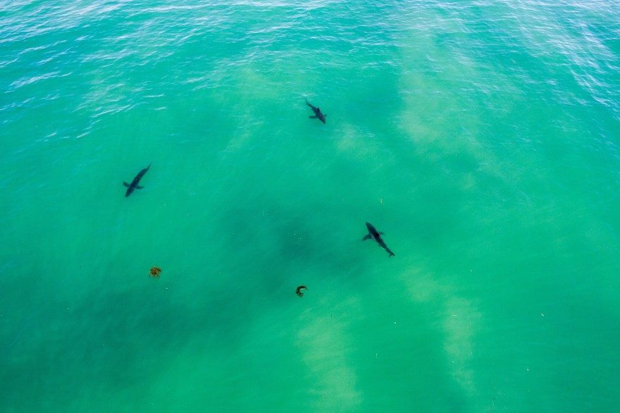 A pack of sharks was photographed on Sunday afternoon near Capistrano Beach. Photo: Courtesy of Matt Larmand