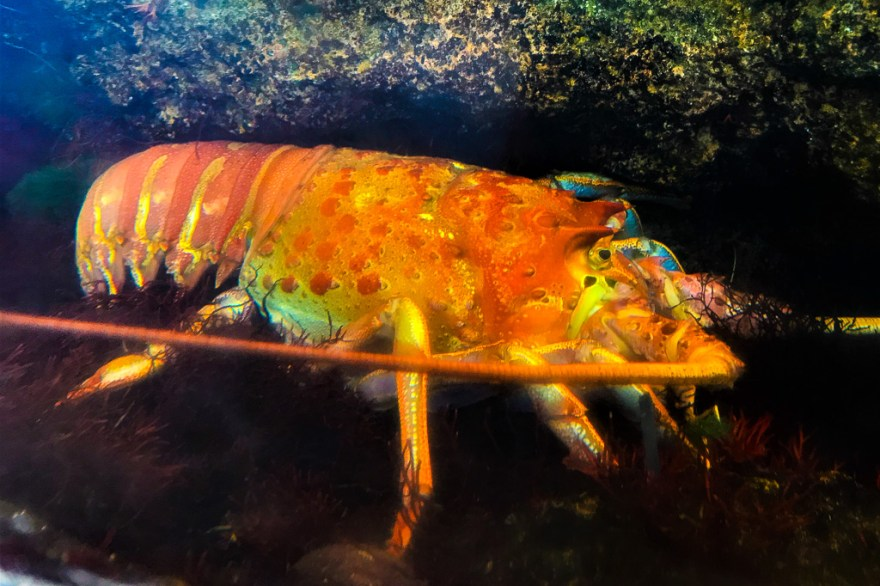 The California spiny lobster season begins at midnight on Sept. 29. The season runs through March 15. Photo: Courtesy of Julianne Steers
