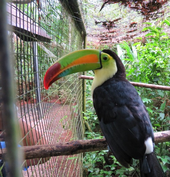 Keel billed toucan at the Belize Zoo