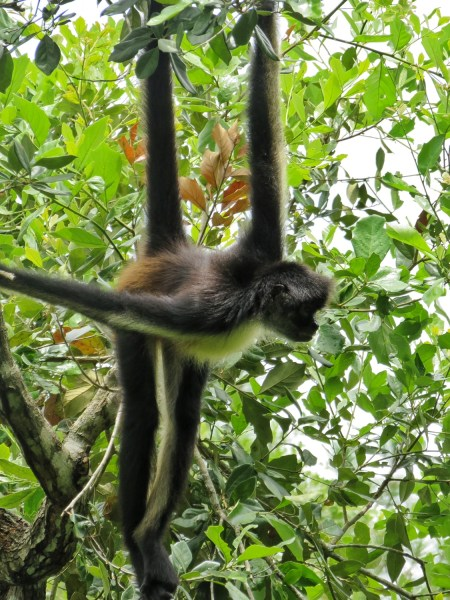 Spider monkey at the Belize zoo