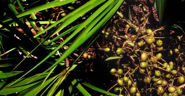 Serenoa_repens_USDA1