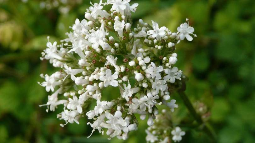 valeriana-officinalis-848736_1280