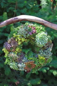 Semper-viva-Wreath-how-to-make-a-succulent-wreath