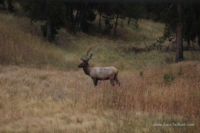 autumn-elk-in-yellowstone-national-park