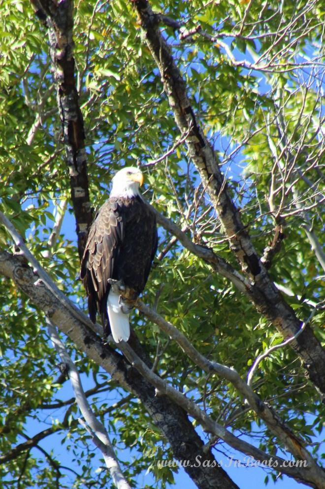 bald-eagle-snake-river