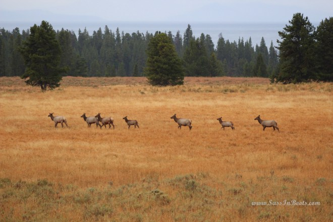 cow-elk-yellowstone-national-park-wyoming