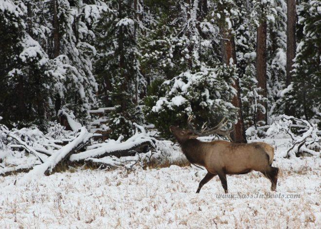 snowy-elk
