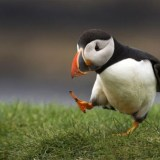 baby-puffin-pondering-thinking-photographer-andreas-mulder
