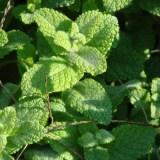 stock_peppermint-leaves-herbs-food