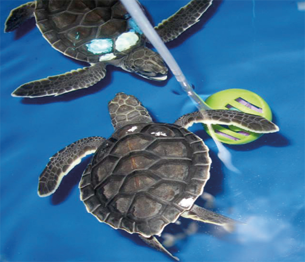 Follow Your Nose: FAU Graduate Student StudiesOlfaction in Sea Turtles