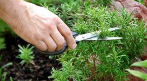 Začinsko bilje u vašem vrtu