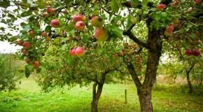 Kako rezati mlade voćke i savjeti za zelenu rezidbu