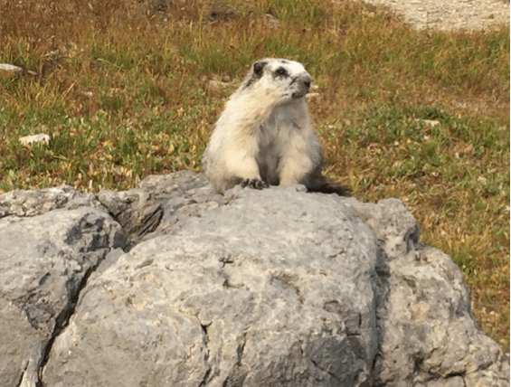 Hoary marmot poses for camera in alpines of Glacier National Park