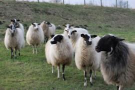 fot schapen