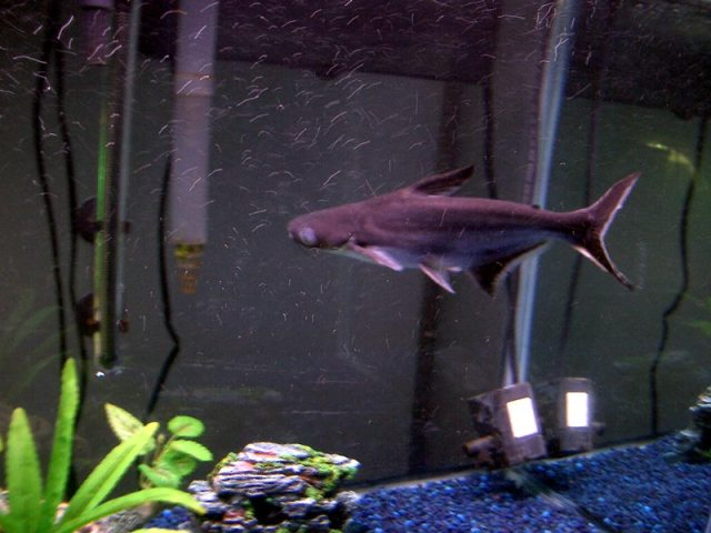 sounds like an iridescent shark. These fish are lighter colour when