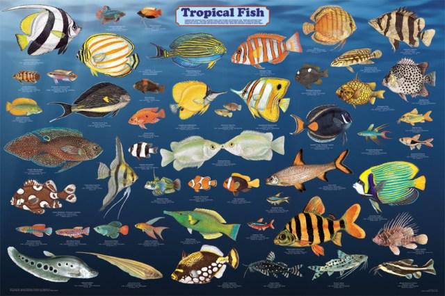 Tropical fish species