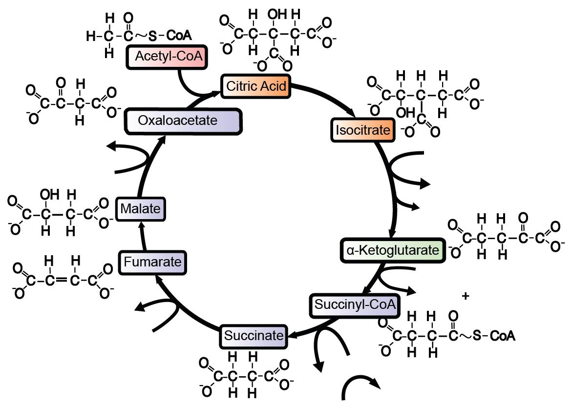 Krebs Cycle: interactive lyrics, diagrams, and flashcards
